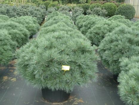 Теневыносливые хвойные растения для сада